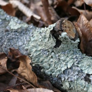 Learn About Lichens   Bowman's Hill Wildflower Preserve