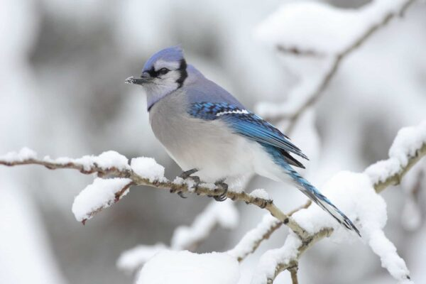 Blue Jay - Winter Birds | BHWP.org